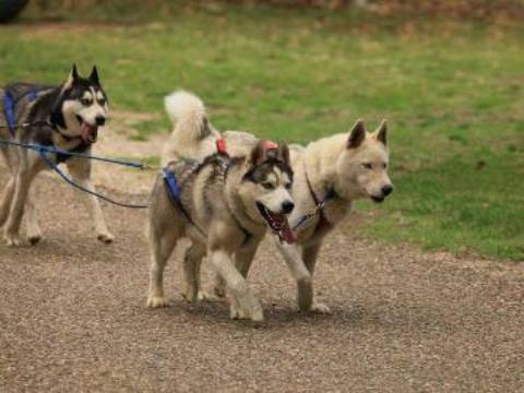 Huskies training for the sled dog race